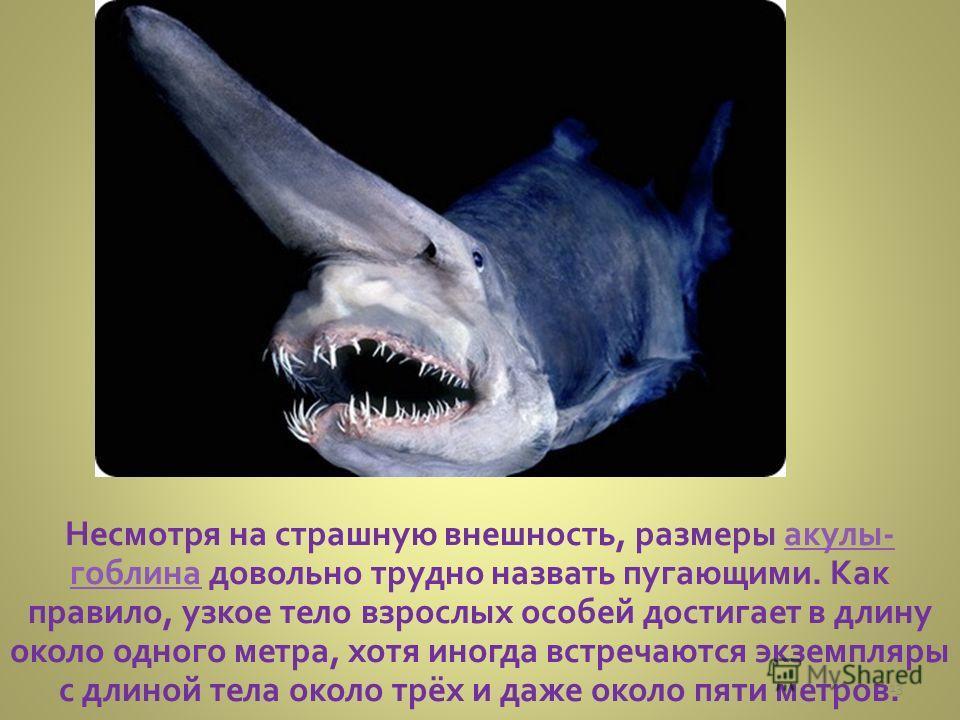 Несмотря на страшную внешность, размеры акулы- гоблина довольно трудно назвать пугающими. Как правило, узкое тело взрослых особей достигает в длину около одного метра, хотя иногда встречаются экземпляры с длиной тела около трёх и даже около пяти метр
