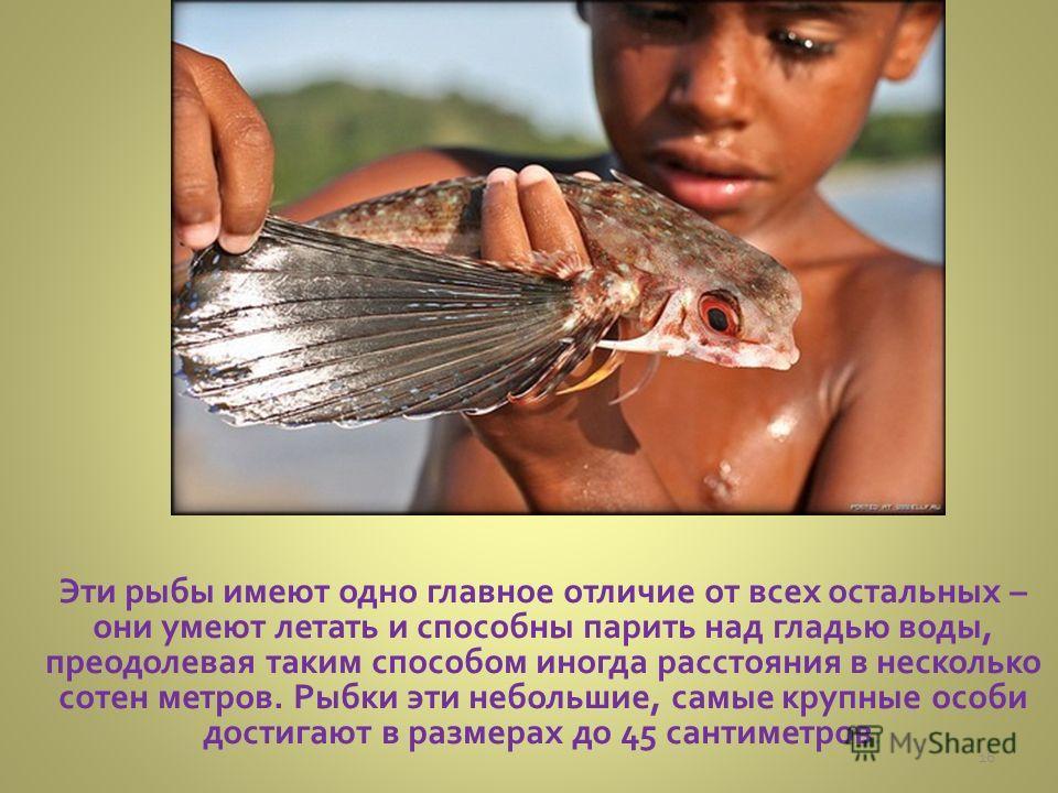 Эти рыбы имеют одно главное отличие от всех остальных – они умеют летать и способны парить над гладью воды, преодолевая таким способом иногда расстояния в несколько сотен метров. Рыбки эти небольшие, самые крупные особи достигают в размерах до 45 сан