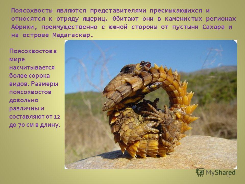 Поясохвосты являются представителями пресмыкающихся и относятся к отряду ящериц. Обитают они в каменистых регионах Африки, преимущественно с южной стороны от пустыни Сахара и на острове Мадагаскар. Поясохвостов в мире насчитывается более сорока видов
