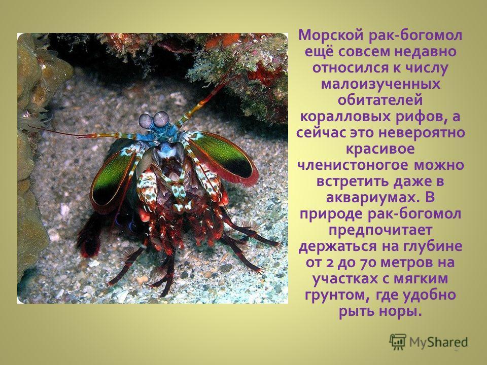 Морской рак-богомол ещё совсем недавно относился к числу малоизученных обитателей коралловых рифов, а сейчас это невероятно красивое членистоногое можно встретить даже в аквариумах. В природе рак-богомол предпочитает держаться на глубине от 2 до 70 м