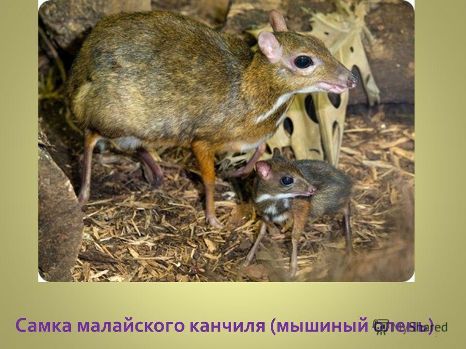 Самка малайского канчиля (мышиный олень) 5