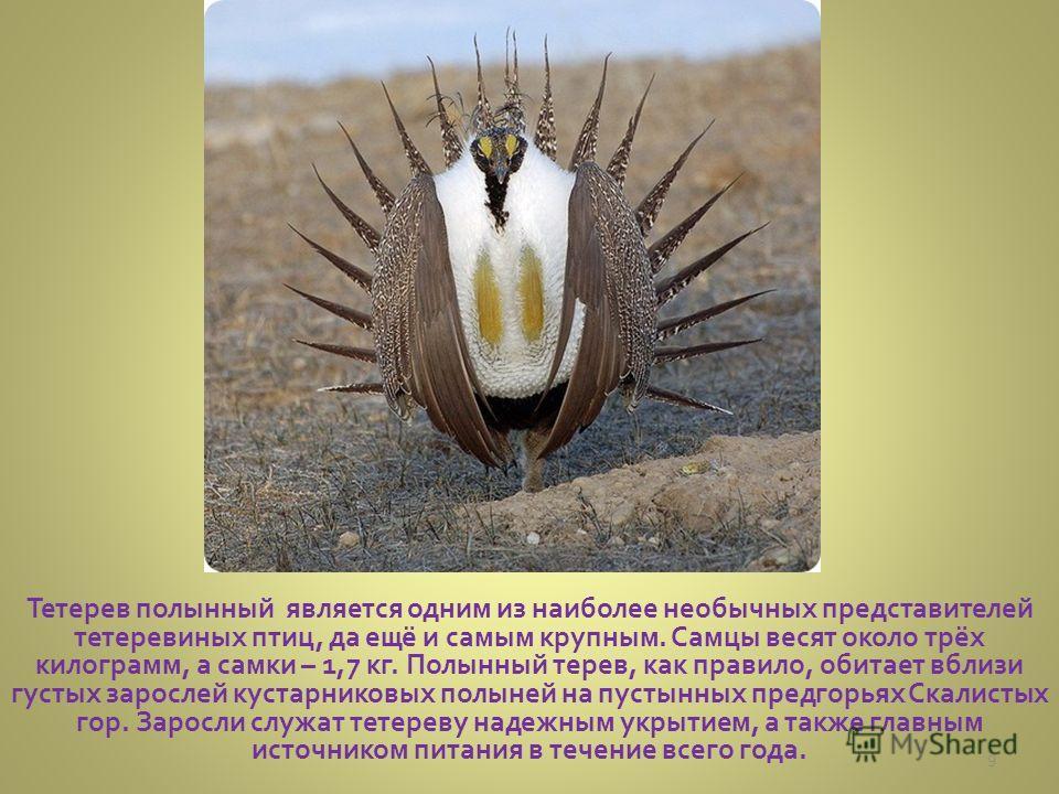 Тетерев полынный является одним из наиболее необычных представителей тетеревиных птиц, да ещё и самым крупным. Самцы весят около трёх килограмм, а самки – 1,7 кг. Полынный терев, как правило, обитает вблизи густых зарослей кустарниковых полыней на пу