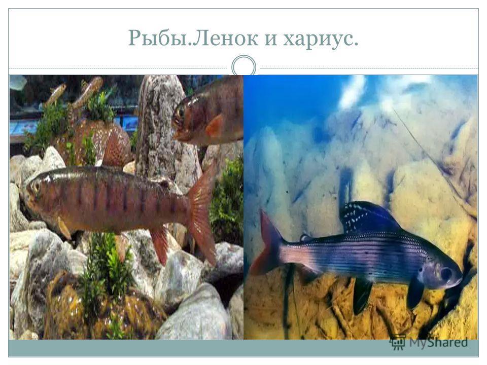 Рыбы.Ленок и хариус.