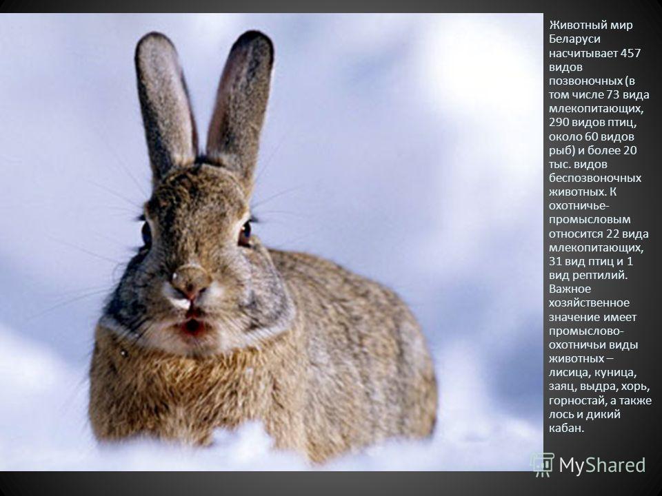Животный мир Беларуси насчитывает 457 видов позвоночных (в том числе 73 вида млекопитающих, 290 видов птиц, около 60 видов рыб) и более 20 тыс. видов беспозвоночных животных. К охотничье- промысловым относится 22 вида млекопитающих, 31 вид птиц и 1 в