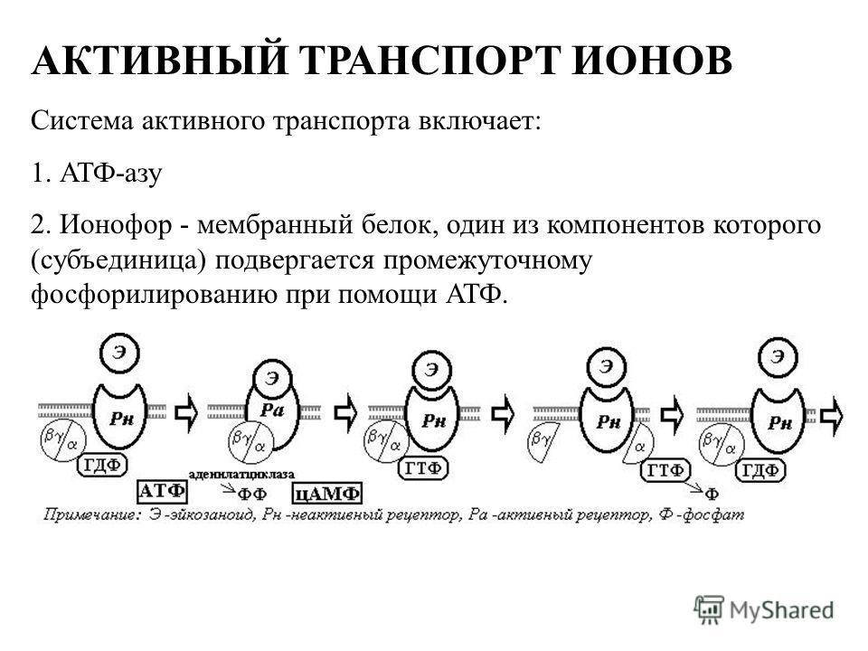 АКТИВНЫЙ ТРАНСПОРТ ИОНОВ Система активного транспорта включает: 1. АТФ-азу 2. Ионофор - мембранный белок, один из компонентов которого (субъединица) подвергается промежуточному фосфорилированию при помощи АТФ.