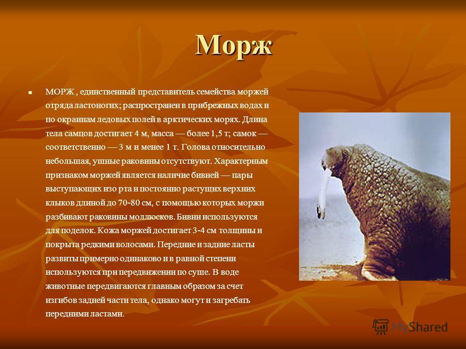 Морж МОРЖ, единственный представитель семейства моржей отряда ластоногих; распространен в прибрежных водах и по окраинам ледовых полей в арктических морях. Длина тела самцов достигает 4 м, масса более 1,5 т; самок соответственно 3 м и менее 1 т. Голо