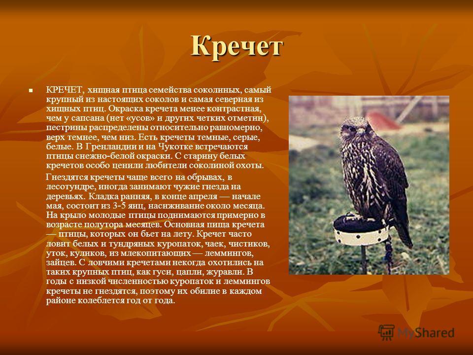 Кречет КРЕЧЕТ, хищная птица семейства соколиных, самый крупный из настоящих соколов и самая северная из хищных птиц. Окраска кречета менее контрастная, чем у сапсана (нет «усов» и других четких отметин), пестрины распределены относительно равномерно,
