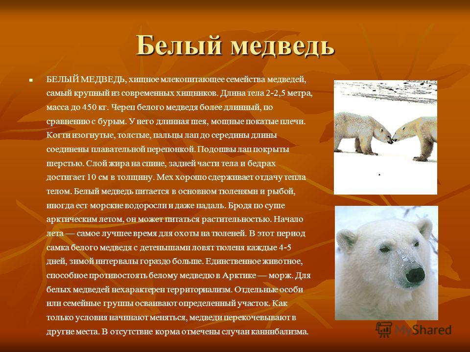 Белый медведь БЕЛЫЙ МЕДВЕДЬ, хищное млекопитающее семейства медведей, самый крупный из современных хищников. Длина тела 2-2,5 метра, масса до 450 кг. Череп белого медведя более длинный, по сравнению с бурым. У него длинная шея, мощные покатые плечи.