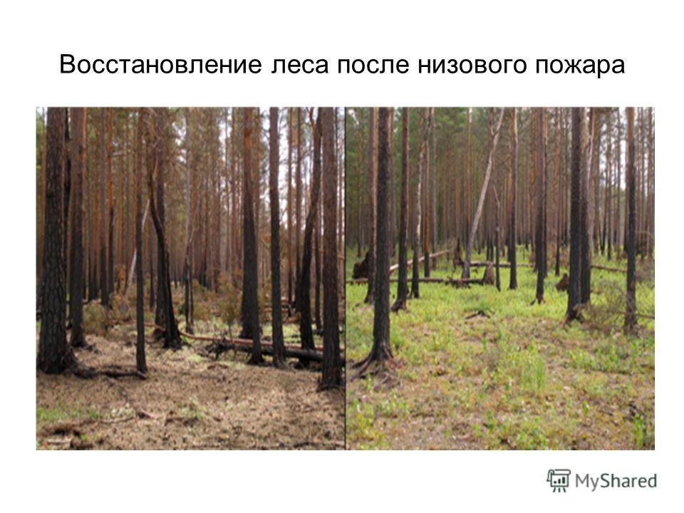 Восстановление леса после низового пожара