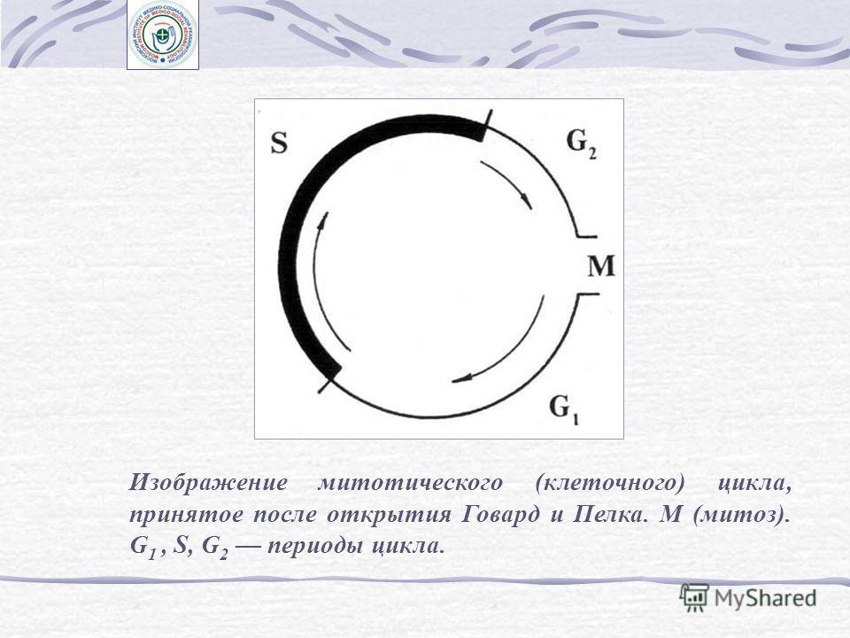 Представление о митотическом (клеточном) цикле и его периодах Схема опытов Говард и Пелка по выявлению периодов митотического цикла в клетках корневой меристемы Vicia faba. G 2, S периоды цикла, Т – продолжительность цикла
