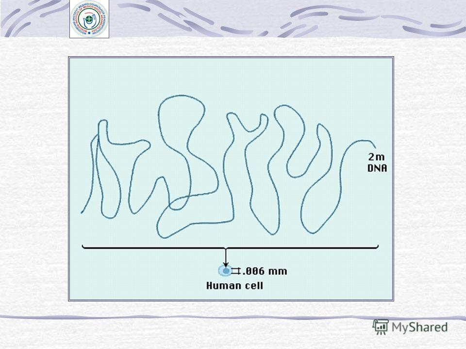 Клеточный цикл и кинетика клеточных популяций Метод радиоавтографии в изучении клеточного цикла