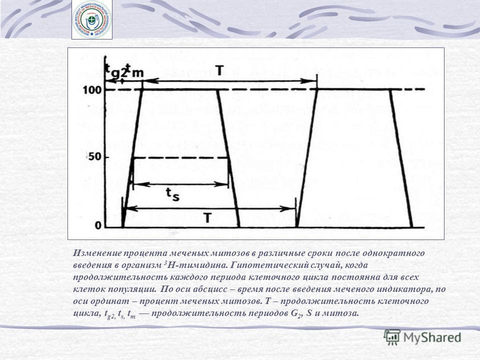 Автограф культуры клеток китайского хомячка, меченых 3 Н-тимидином Основные приемы радиоавтографического анализа клеточного цикла.