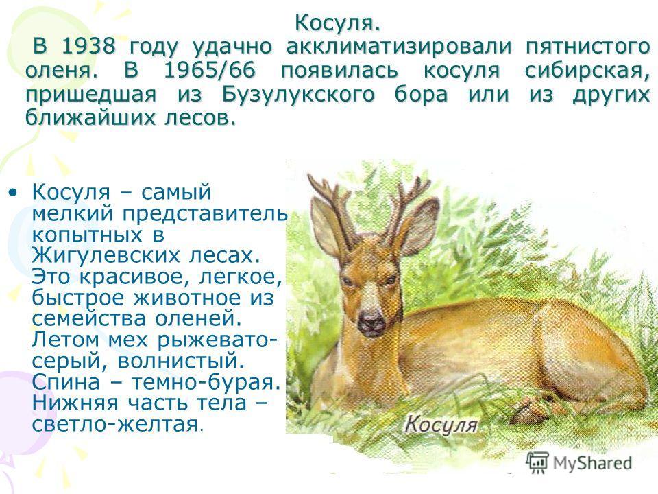 Косуля. В 1938 году удачно акклиматизировали пятнистого оленя. В 1965/66 появилась косуля сибирская, пришедшая из Бузулукского бора или из других ближайших лесов. Косуля – самый мелкий представитель копытных в Жигулевских лесах. Это красивое, легкое,