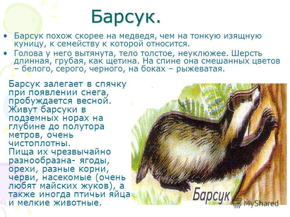 Барсук похож скорее на медведя, чем на тонкую изящную куницу, к семейству к которой относится. Голова у него вытянута, тело толстое, неуклюжее. Шерсть длинная, грубая, как щетина. На спине она смешанных цветов – белого, серого, черного, на боках – ры