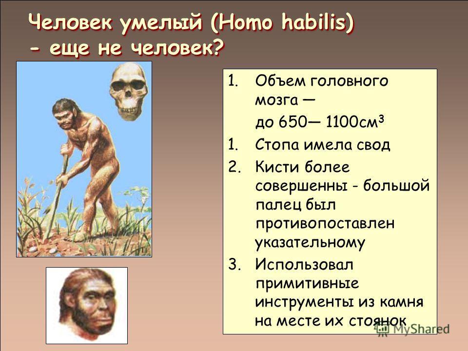 Человек умелый (Homo habilis) - еще не человек? 1.Объем головного мозга до 650 1100см 3 1.Стопа имела свод 2.Кисти более совершенны - большой палец был противопоставлен указательному 3.Использовал примитивные инструменты из камня на месте их стоянок