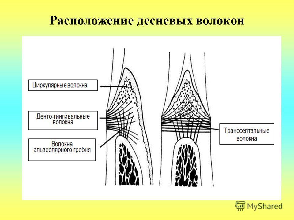 Расположение десневых волокон