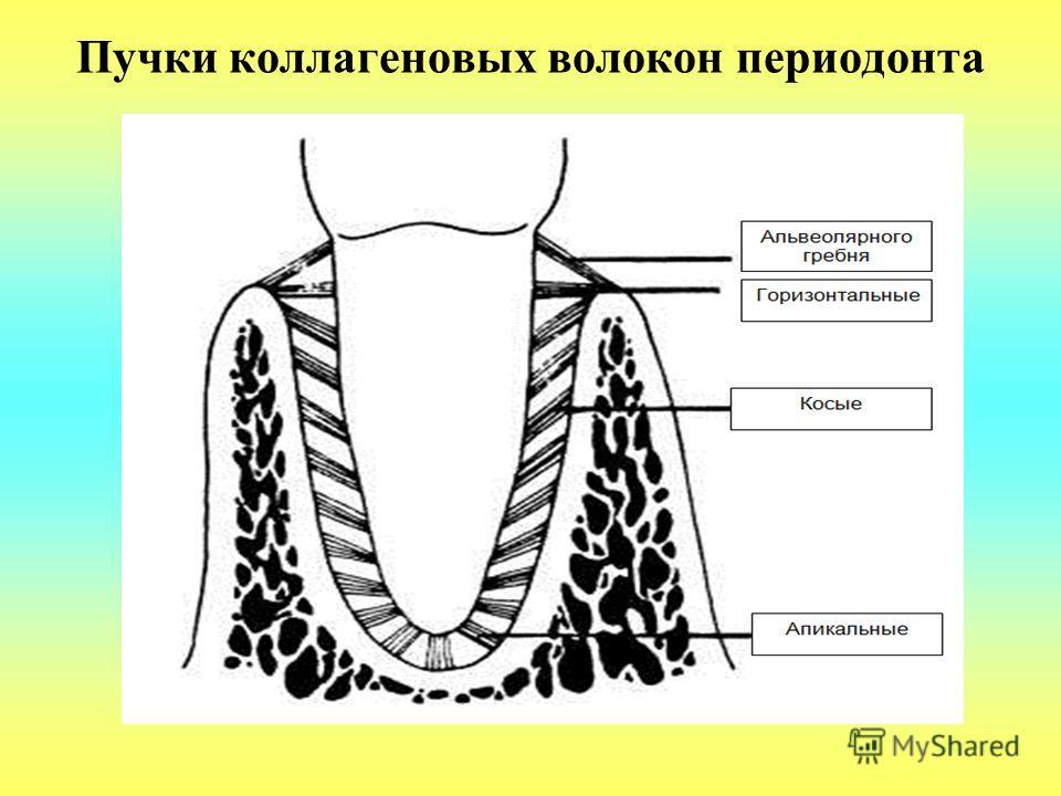 Пучки коллагеновых волокон периодонта