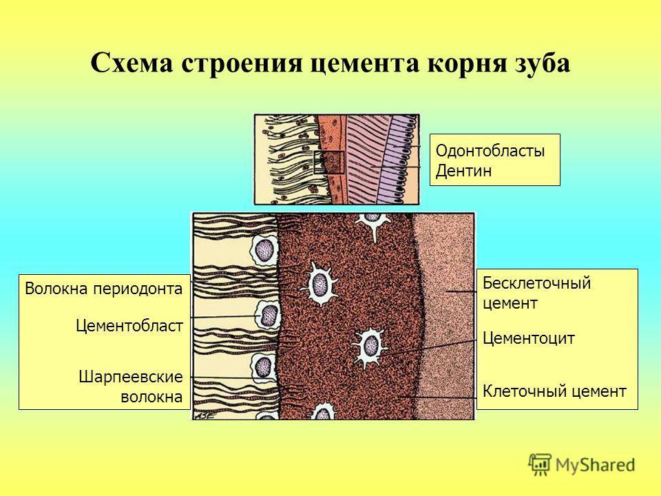 Схема строения цемента корня зуба Одонтобласты Дентин Бесклеточный цемент Цементоцит Клеточный цемент Волокна периодонта Цементобласт Шарпеевские волокна