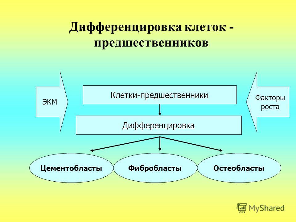 Дифференцировка клеток - предшественников Клетки-предшественники ЭКМ Дифференцировка ЦементобластыФибробластыОстеобласты Факторы роста