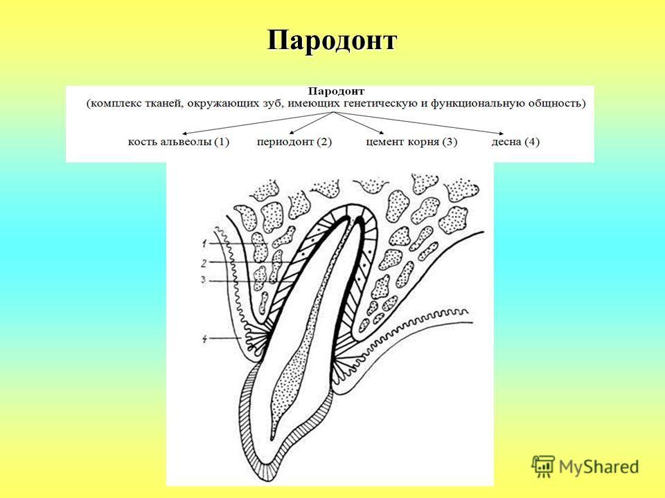 Пародонт