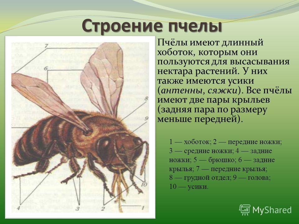 Строениепчелы Строение пчелы Пчёлы имеют длинный хоботок, которым они пользуются для высасывания нектара растений. У них также имеются усики (антенны, сяжки). Все пчёлы имеют две пары крыльев (задняя пара по размеру меньше передней). 1 хоботок; 2 пер