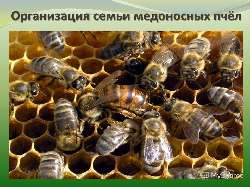 Организация семьи медоносных пчёл Пчёлы высокоорганизованные насекомые. Они совместно осуществляют поиск пищи, воды, жилья при необходимости, совместно защищаются от врагов. В улье пчёлы совместно строят соты, ухаживают за потомством, маткой.