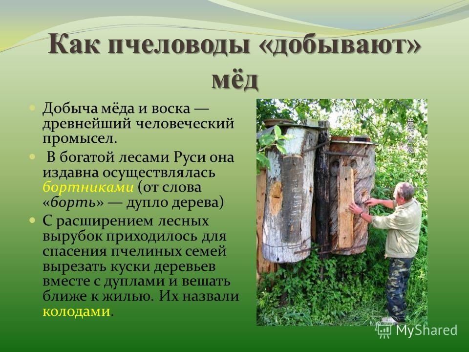 Как пчеловоды «добывают» мёд Добыча мёда и воска древнейший человеческий промысел. В богатой лесами Руси она издавна осуществлялась бортниками (от слова «борть» дупло дерева) С расширением лесных вырубок приходилось для спасения пчелиных семей выреза