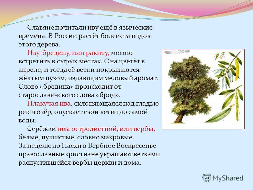 Славяне почитали иву ещё в языческие времена. В России растёт более ста видов этого дерева. Иву-бредину, или ракиту, можно встретить в сырых местах. Она цветёт в апреле, и тогда её ветки покрываются жёлтым пухом, издающим медовый аромат. Слово «бреди