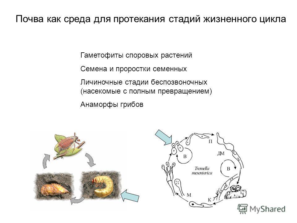 Почва как среда для протекания стадий жизненного цикла Гаметофиты споровых растений Семена и проростки семенных Личиночные стадии беспозвоночных (насекомые с полным превращением) Анаморфы грибов