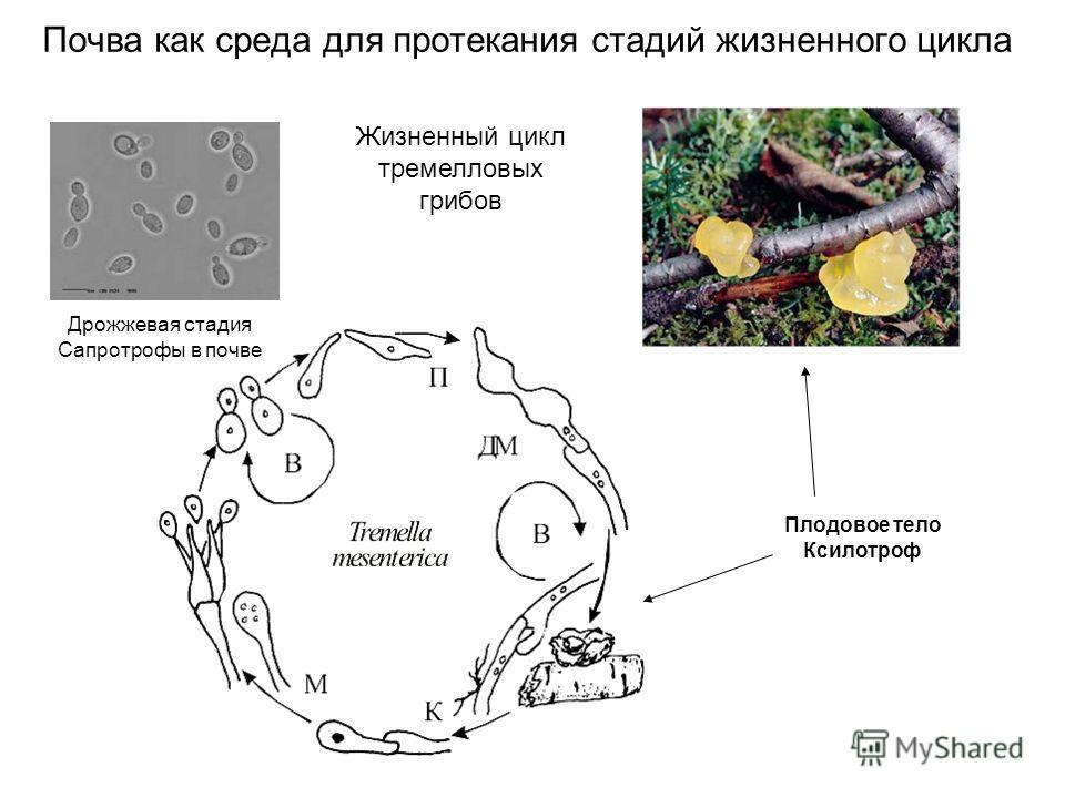 Почва как среда для протекания стадий жизненного цикла Плодовое тело Ксилотроф Дрожжевая стадия Сапротрофы в почве Жизненный цикл тремелловых грибов
