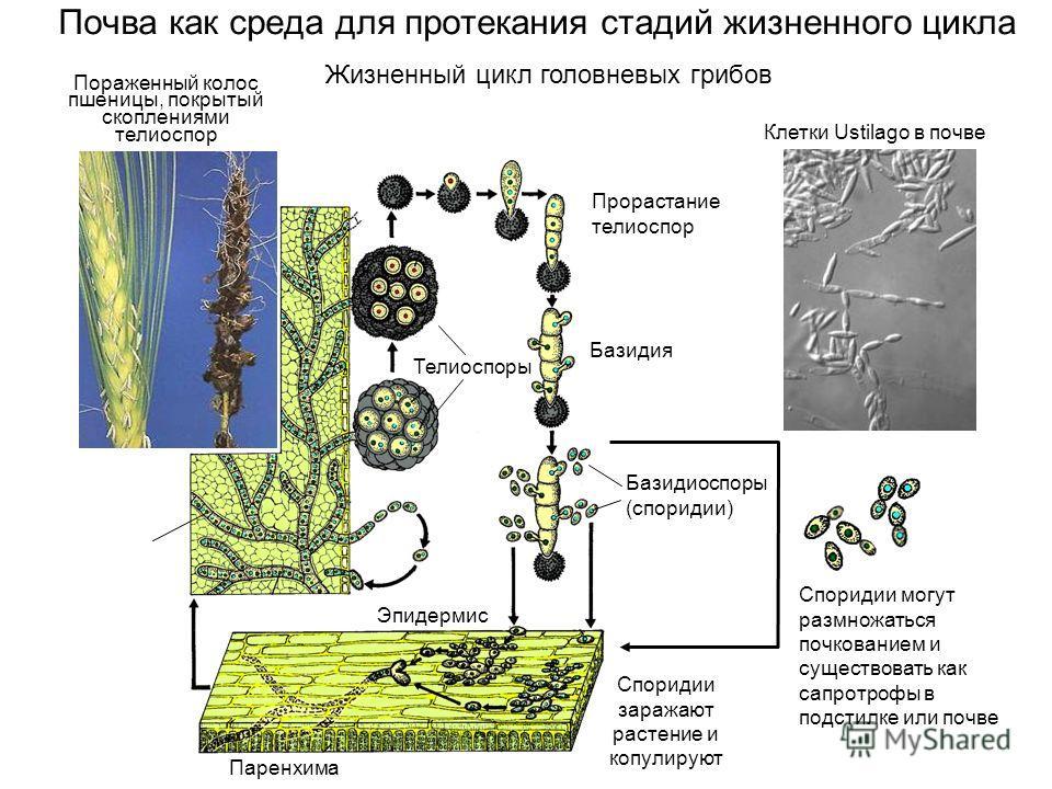 Почва как среда для протекания стадий жизненного цикла Телиоспоры Прорастание телиоспор Базидия Базидиоспоры (споридии) Паренхима Эпидермис Споридии заражают растение и копулируют Пораженный колос пшеницы, покрытый скоплениями телиоспор Споридии могу