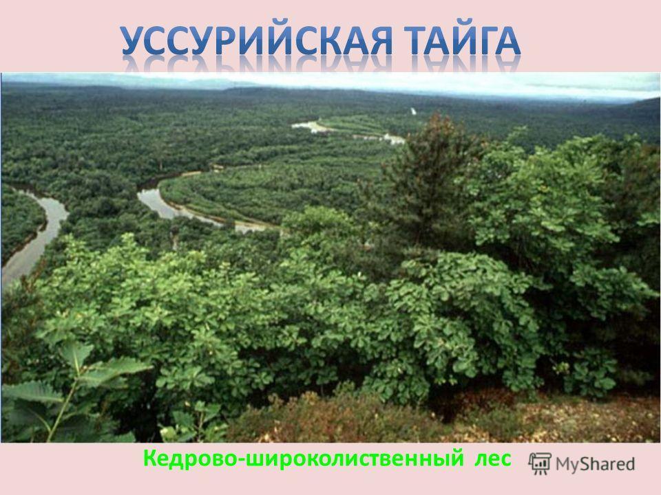 Кедрово-широколиственный лес