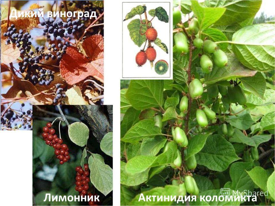 Актинидия коломикта Дикий виноград Лимонник