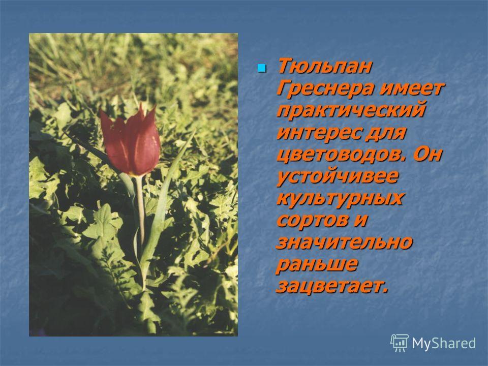 Тюльпан Греснера имеет практический интерес для цветоводов. Он устойчивее культурных сортов и значительно раньше зацветает. Тюльпан Греснера имеет практический интерес для цветоводов. Он устойчивее культурных сортов и значительно раньше зацветает.