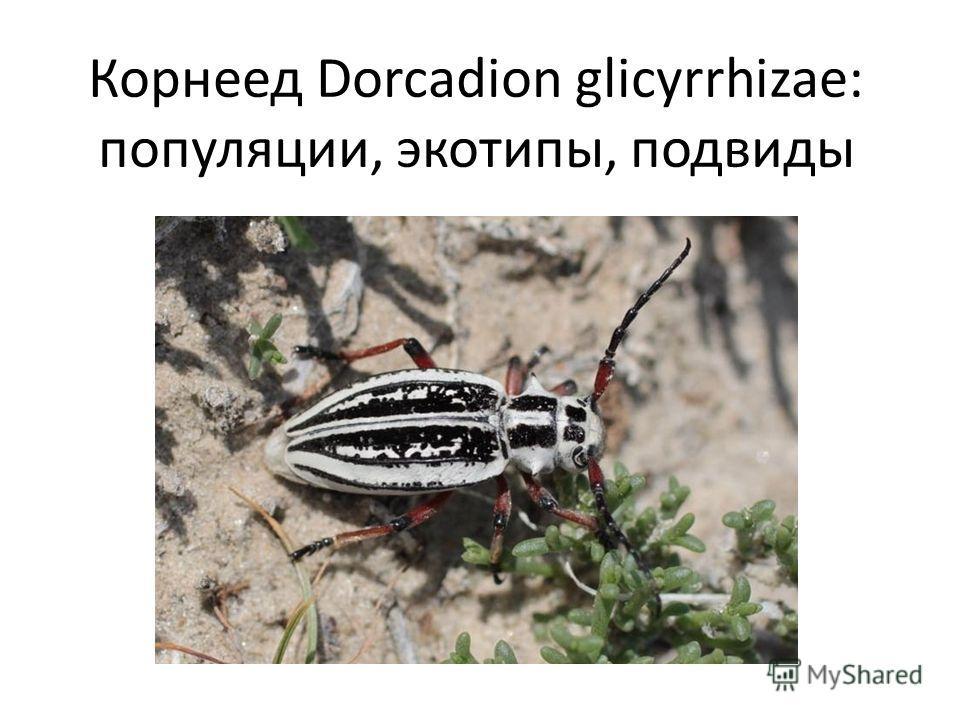 Корнеед Dorcadion glicyrrhizae: популяции, экотипы, подвиды