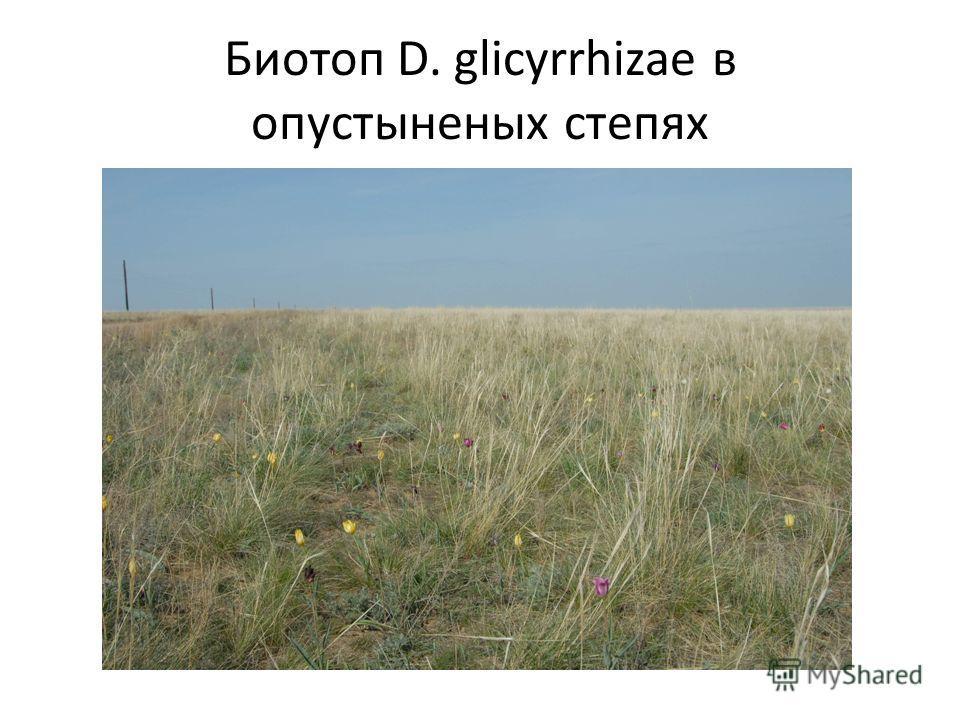 Биотоп D. glicyrrhizae в опустыненых степях