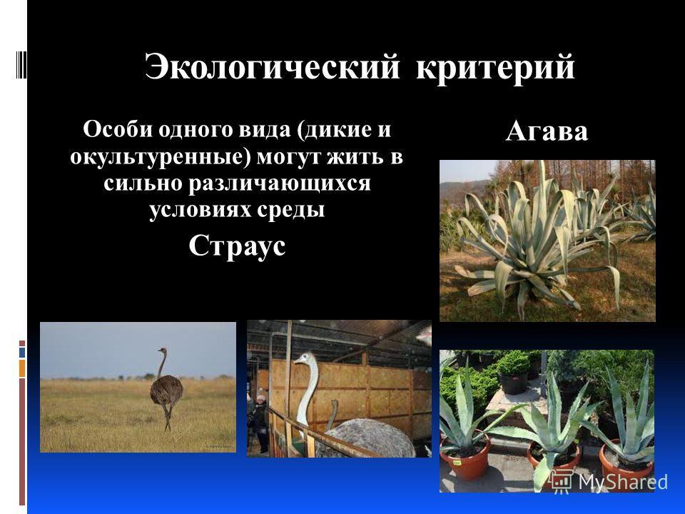 Экологический критерий Особи одного вида (дикие и окультуренные) могут жить в сильно различающихся условиях среды Страус Агава
