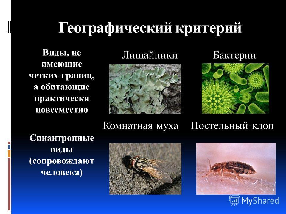 Географический критерий Виды, не имеющие четких границ, а обитающие практически повсеместно Синантропные виды (сопровождают человека) Лишайники Бактерии Комнатная муха Постельный клоп