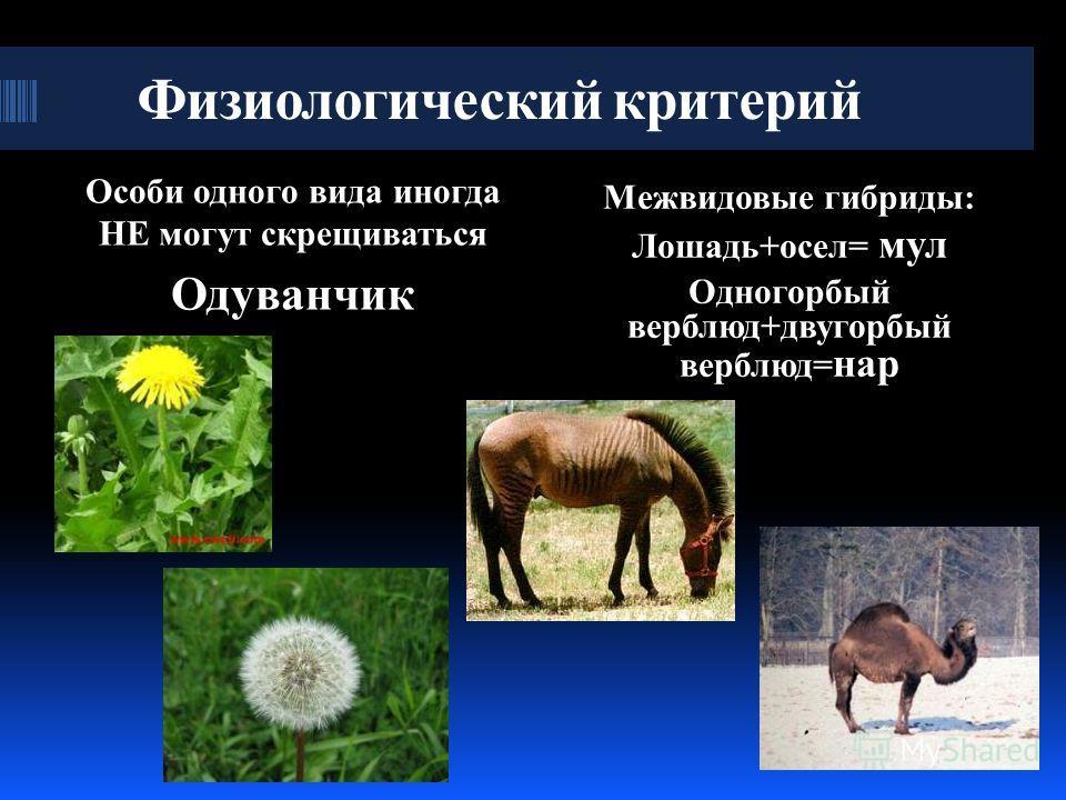 Физиологический критерий Особи одного вида иногда НЕ могут скрещиваться Одуванчик Межвидовые гибриды: Лошадь+осел= мул Одногорбый верблюд+двугорбый верблюд= нар