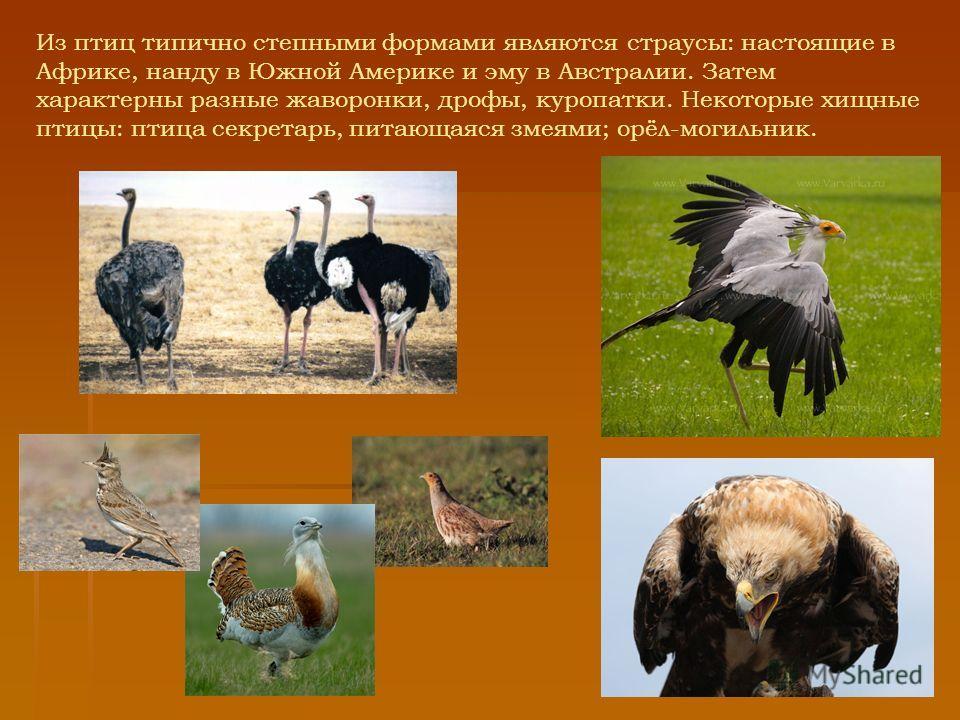 Из птиц типично степными формами являются страусы: настоящие в Африке, нанду в Южной Америке и эму в Австралии. Затем характерны разные жаворонки, дрофы, куропатки. Некоторые хищные птицы: птица секретарь, питающаяся змеями; орёл-могильник.