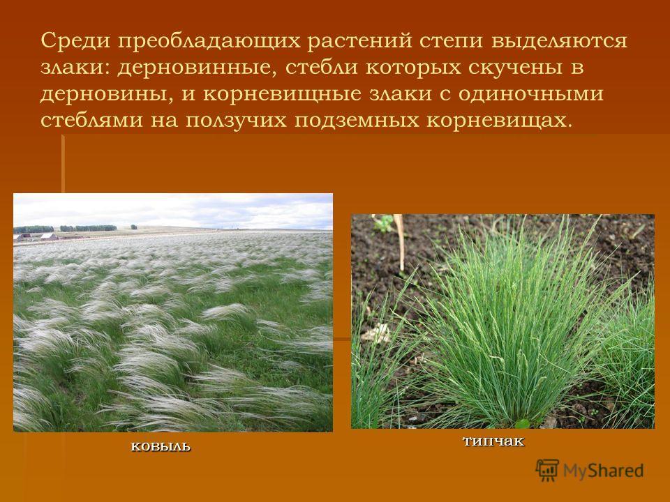 Среди преобладающих растений степи выделяются злаки: дерновинные, стебли которых скучены в дерновины, и корневищные злаки с одиночными стеблями на ползучих подземных корневищах. типчак ковыль