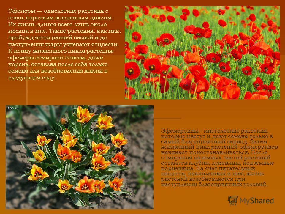 Эфемеры однолетние растения с очень коротким жизненным циклом. Их жизнь длится всего лишь около месяца в мае. Такие растения, как мак, пробуждаются ранней весной и до наступления жары успевают отцвести. К концу жизненного цикла растения- эфемеры отми