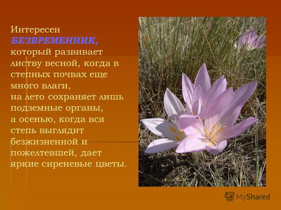 Интересен БЕЗВРЕМЕННИК, который развивает листву весной, когда в степных почвах еще много влаги, на лето сохраняет лишь подземные органы, а осенью, когда вся степь выглядит безжизненной и пожелтевшей, дает яркие сиреневые цветы.