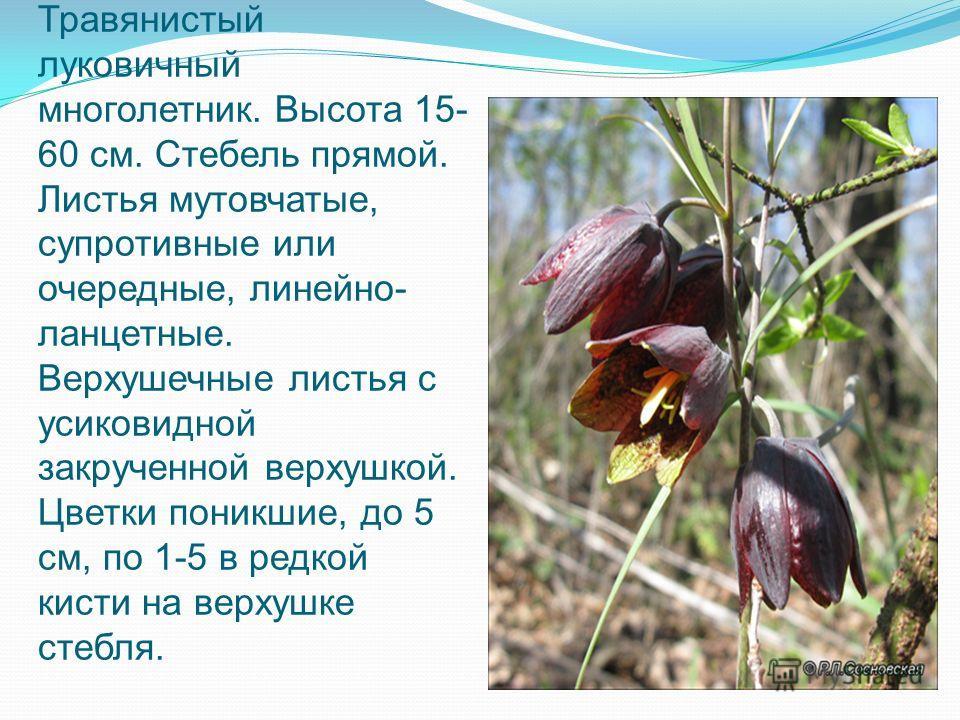 Травянистый луковичный многолетник. Высота 15- 60 см. Стебель прямой. Листья мутовчатые, супротивные или очередные, линейно- ланцетные. Верхушечные листья с усиковидной закрученной верхушкой. Цветки поникшие, до 5 см, по 1-5 в редкой кисти на верхушк