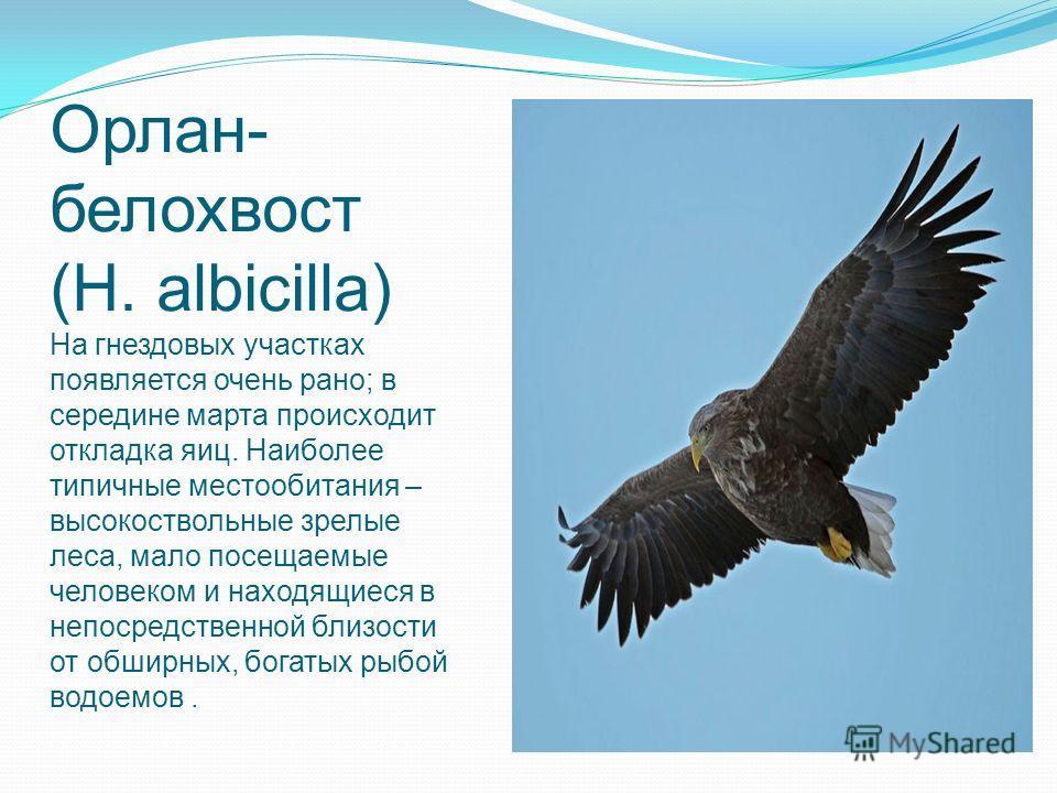 Орлан- белохвост (H. albicilla) На гнездовых участках появляется очень рано; в середине марта происходит откладка яиц. Наиболее типичные местообитания – высокоствольные зрелые леса, мало посещаемые человеком и находящиеся в непосредственной близости