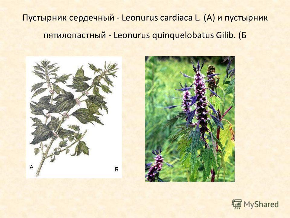 Пустырник сердечный - Leonurus cardiaca L. (А) и пустырник пятилопастный - Leonurus quinquelobatus Gilib. (Б