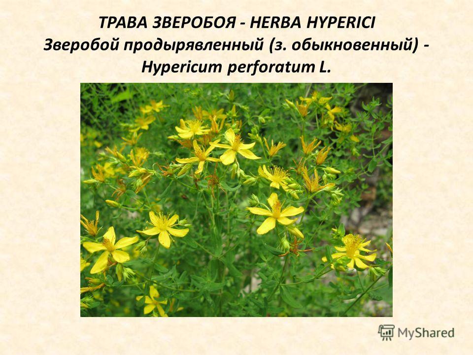 ТРАВА ЗВЕРОБОЯ - HERBA HYPERICI Зверобой продырявленный (з. обыкновенный) - Hypericum perforatum L.
