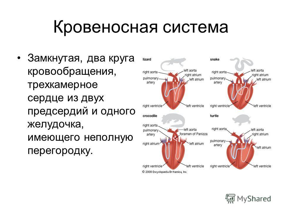 Кровеносная система Замкнутая