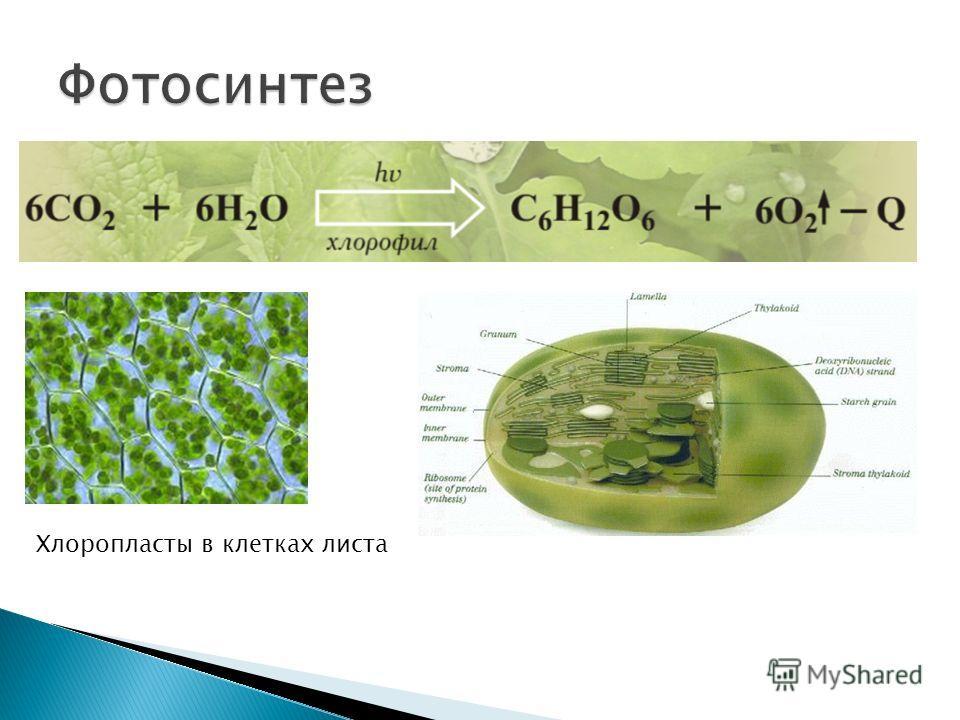 Хлоропласты в клетках листа