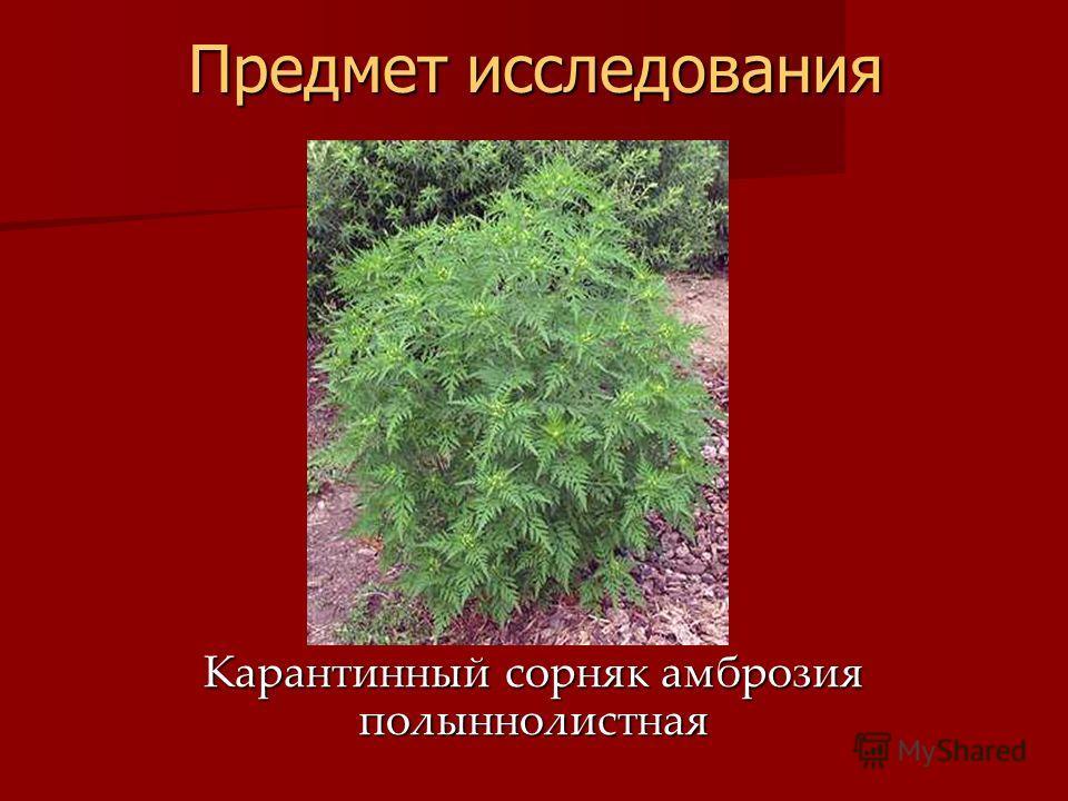 Предмет исследования Карантинный сорняк амброзия полыннолистная